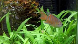 パラダイスフィッシュ 若魚 paradiseFish