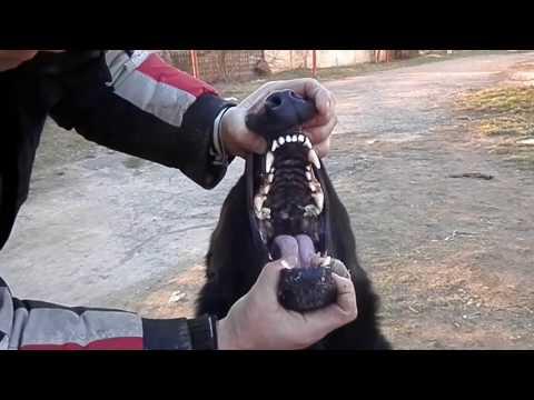 ТЕЛОХРАНИТЕЛЬ.This bodyguard!Чёрная немецкая овчарка Тайсон. Odessa.