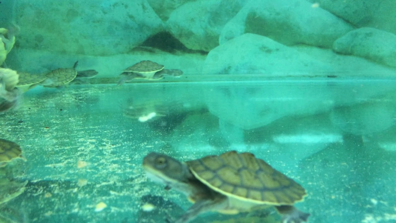 Baby Pet Turtles Melbourne | Baby Pet Turtles For Sale ...