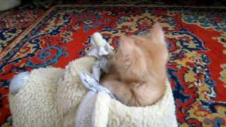 british shorthair kitten falling asleep