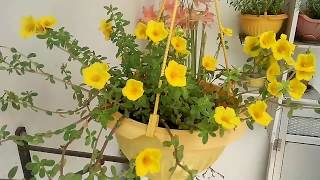 best flowers for garden and hanging baskets in summer, Portulaca