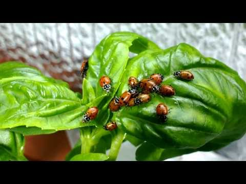 Aquaponics: Releasing LadyBugs & Greenhouse Bubble Wrap - Urbanist Farms - Seattle - Oct 2013