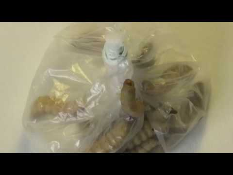 Kleine Raupe Nimmersatt: Wachsraupen fressen gerne Plastikmüll