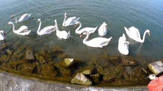28. Шиофок. Венгрия. Лебеди на озере Балатон.(, 2016-09-01T19:34:47.000Z)