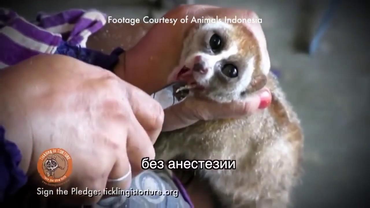 животное лори видео