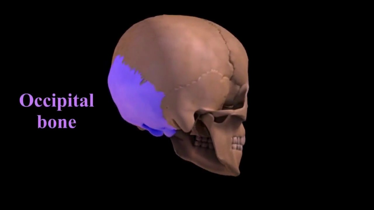 introduction to the skeleton Introduction: the adult human skeleton is a framework of 206 bones and is anatomically divided into two parts, the axial skeleton, and the appendicular skeleton.