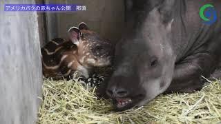 アメリカバクの赤ちゃん公開 那須 thumbnail