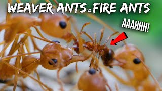Ant War: Weaver Ants vs. Fire Ants