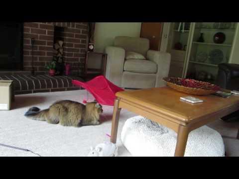 Ziggy the Tiffanie cat playing