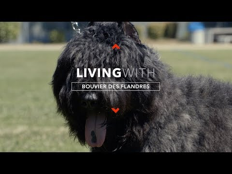 ALL ABOUT LIVING WITH BOUVIER DES FLANDRES