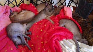 Cute sleeping angels -sphynx cats / DonSphynx /