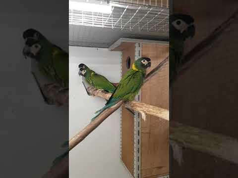 Ara à collier jaune - Primolius auricollis - Golden-collared Macaw