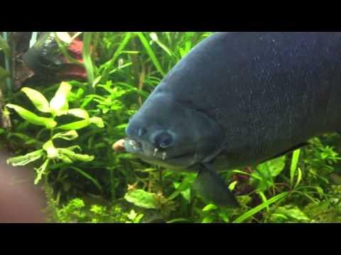 Pacu Fish Eating Brazil Nut.