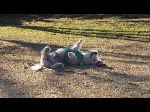 ゴロゴロ Dandie Dinmont Terrier