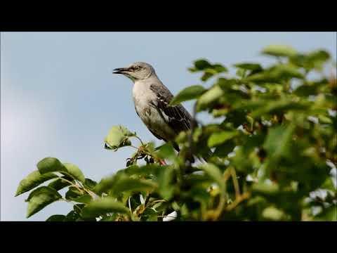 the texas state bird the mockingbird 05 22 2018 youtube