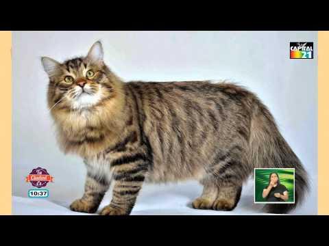 Los gatos 'del Bosque Noruego' con Gus Mascotas