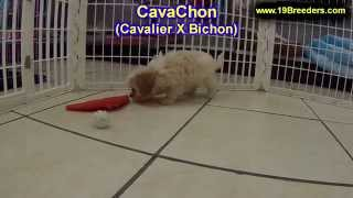 Cavachon, Puppies, For, Sale, In, Jacksonville,florida, Fl,tallahassee,gainesville,