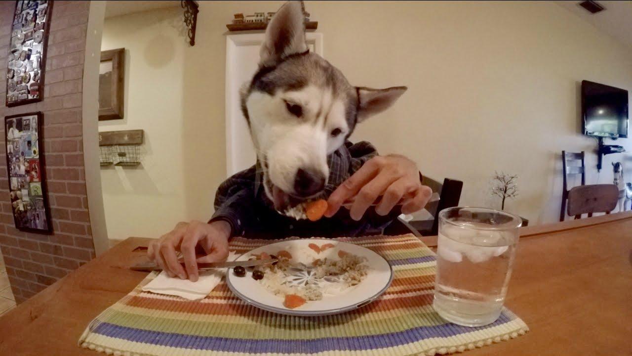 Husky Eating with Human Hands!