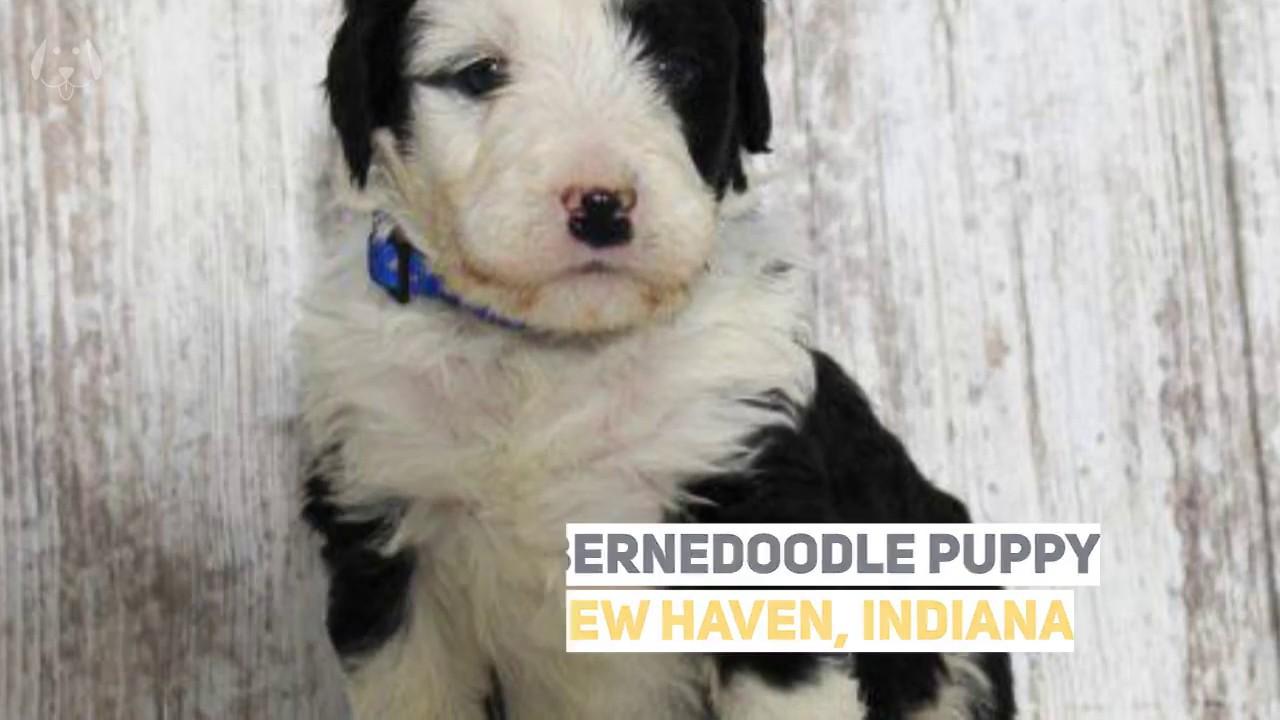 Bernedoodle Puppy For Sale Indiana Miniature Bernedoodle