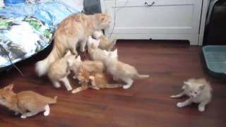 Рыжая мама кошка напугала своих котят