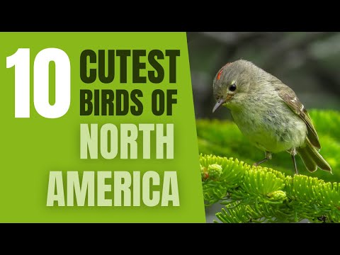 Top 10 Cutest Birds in North America
