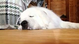 体もデカいが、いびきもデカい。 でも、肝っ玉は小さく、小心犬です(^_^;)