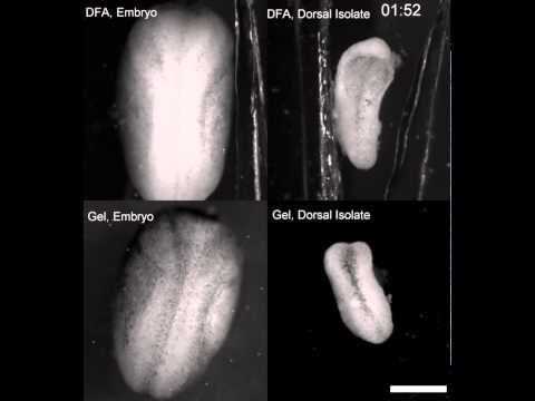 Convergent extension in Xenopus embryos