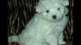 Purebred Maltese Puppies Pictures!