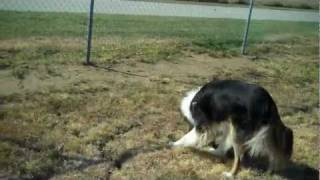 Reveille The Rough Collie | Redeeming Dogs | Dfw Dog Training