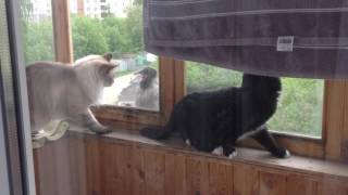 ШОК!!! Вороны нападают на кошек через окна балкона