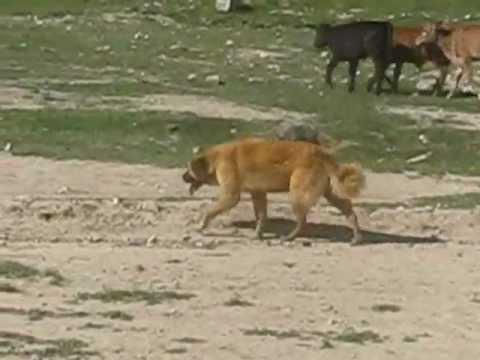 ABORIGINAL CENTRAL ASIAN SHEPHERD DOGS of Kyrgyzstan