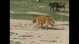 ABORIGINAL CENTRAL ASIAN SHEPHERD DOGS of Kyrgyzstan