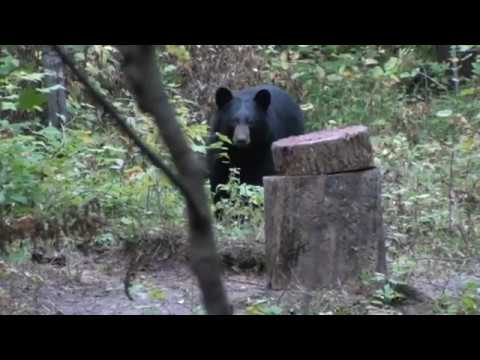 Wisconsin Black Bear From The Ground!