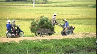 Vietnam farmer harvesting rice on field