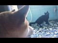 猫が鳴くとすぐ駆けつける柴犬 The dog hasten to the cat when cat mew