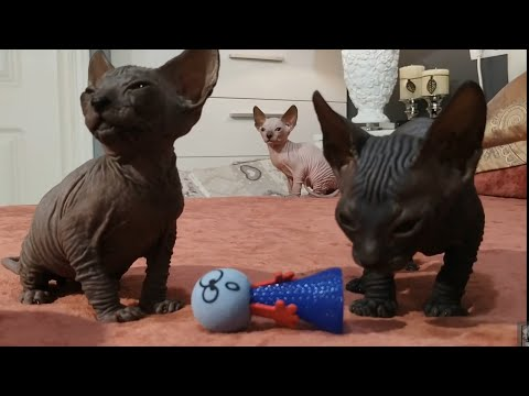 Cute sphynx kittens playing to each other / DonSphynx /