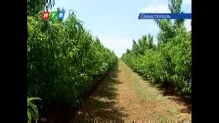 Крым усыпан персиками(В Крыму небывалый урожай персиков. Он обещает быть в восемь раз больше чем в прошлом году. В садах деревья..., 2013-08-06T06:47:54.000Z)