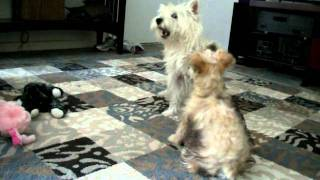Buster The Puppy And Bailey The Westie Babysitter/noisemaker