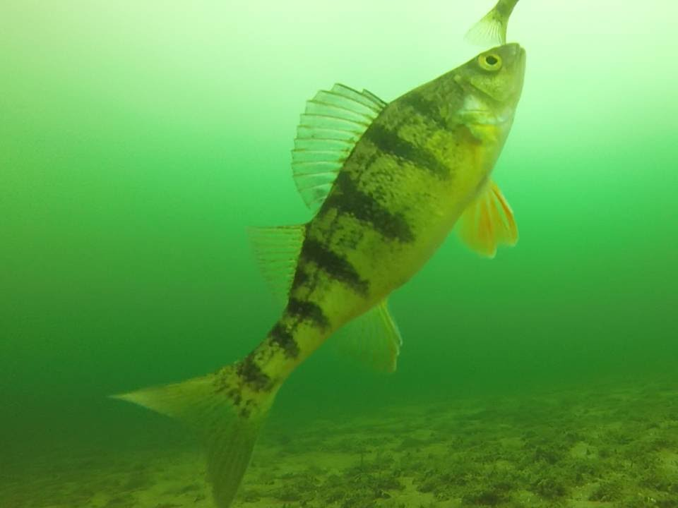 Our best gopro underwater video of perch fishing youtube for Best gopro for fishing