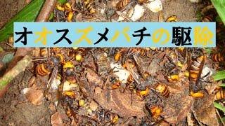 オオスズメバチの駆除