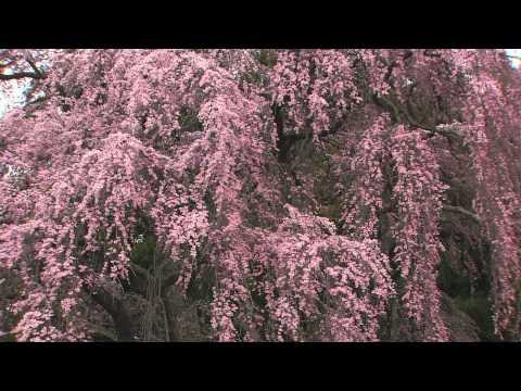 Du lịch Nhật Bản, ngắm hoa anh đào - Kanagawa Prefecture