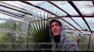 Odc.457-Szklarnia nr 1.Uprawa pomidorów, ogórków,palma, cycas itp.Czas na remont.