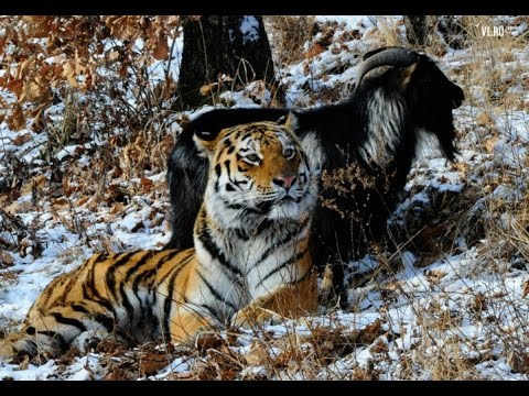 Thousands of people queue to see the odd couple tiger and goat (Incredible Story Of Amur & Timur)