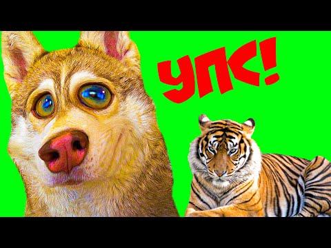 Я УКУСИЛ ТИГРА ЗА НОС!! (Хаски Бублик) Говорящая собака Mister Booble