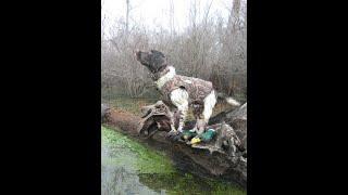 Springers retrieve a 14 lb goose!