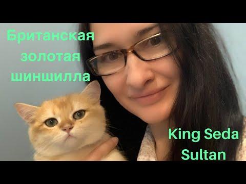 Знакомьтесь наш Симба - Кинг Седа Султан! Золотая британская шиншилла