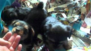 Yorkshire Terriers Available For Sale In Houston Texas