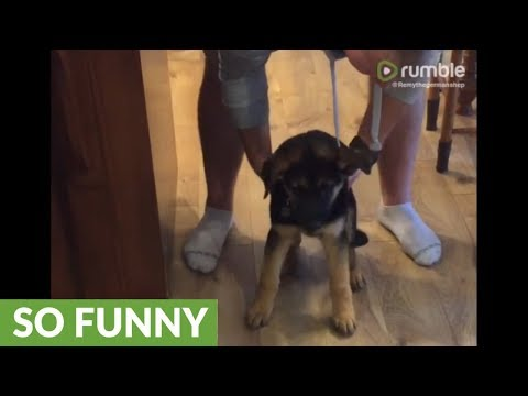 You won't believe how tired this German Shepherd puppy is!