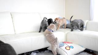 日本でとっても珍しいシャーペイ仔犬が2012年12月12日に8匹誕生致しまし...