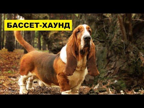 Собака Бассет-хаунд плюсы и минусы породы | Собаководство | Порода Бассет-хаунд